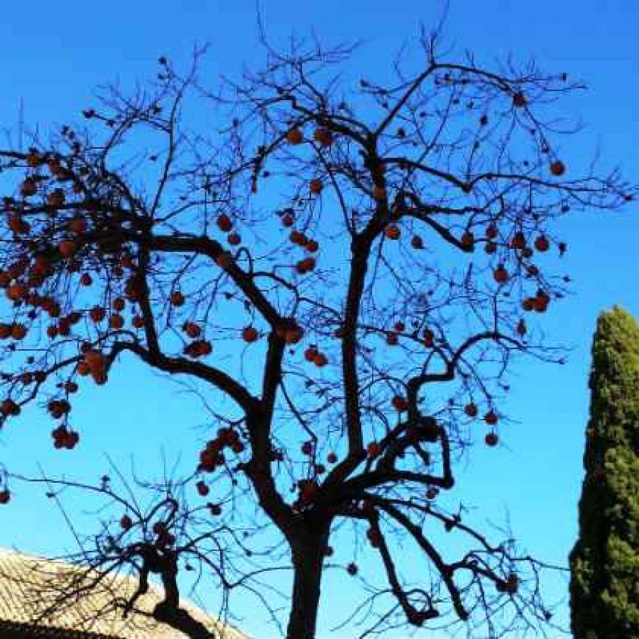 Плоды хурмы Альгамбра